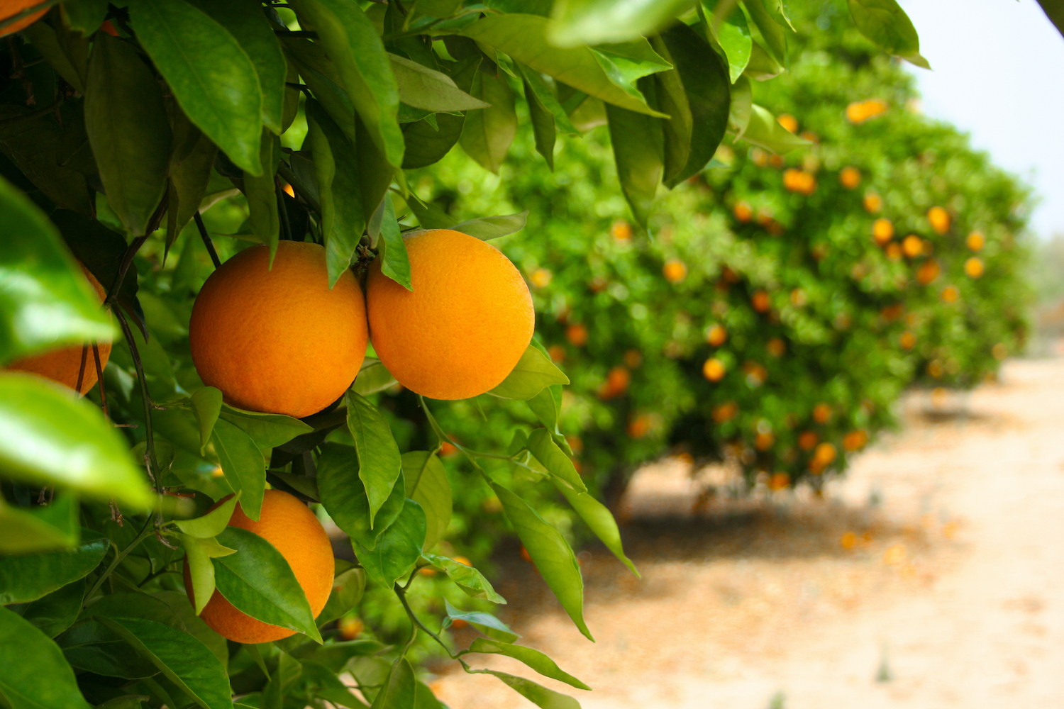 Oranges in a line of green trees